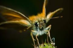 Schmetterling, der auf einem Grashalmnahaufnahmekopf sitzt Lizenzfreie Stockfotografie