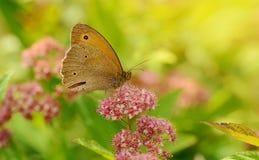 Schmetterling, der auf einem Wildflower stillsteht Lizenzfreies Stockbild