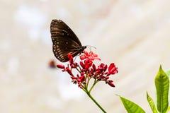 Schmetterling, der auf einen roten Blumenblütenstaub einzieht Lizenzfreie Stockfotos