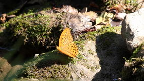Schmetterling, der auf Felsen steht stock footage