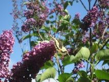 Schmetterling, der auf Flieder stillsteht Stockfotografie