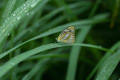Schmetterling, der auf grünes Blatt einzieht Stockfotografie