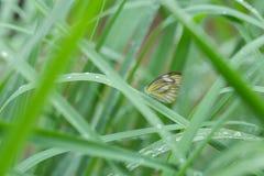 Schmetterling, der auf grünes Blatt einzieht Stockbild