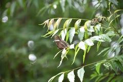 Schmetterling, der auf neem Blättern sitzt Stockbilder
