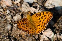 Schmetterling, der auf Schlamm sitzt Lizenzfreies Stockbild