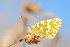 Schmetterling, der auf trockenem Gras steht Stockfotos