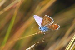 Schmetterling, der auf trockenem Gras steht Lizenzfreies Stockfoto