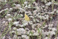 Schmetterling, der auf weißen Blumen stillsteht stockbild
