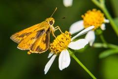 Schmetterling, der auf wenig Blume einzieht Lizenzfreies Stockbild