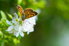 Schmetterling, der auf Wildflowers einzieht lizenzfreie stockfotos