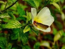 Schmetterling, der Blütenstaub von einer schönen Blume nimmt lizenzfreies stockfoto