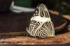 Schmetterling, der eine Banane isst Lizenzfreie Stockfotografie