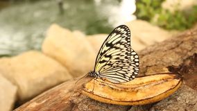 Schmetterling, der eine Banane isst stock video