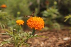 Schmetterling, der eine Blume küsst lizenzfreie stockfotografie