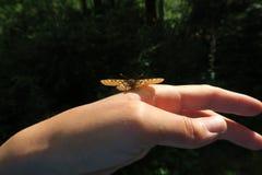 Schmetterling, der an Hand leicht sitzt Waldnatur stockbild