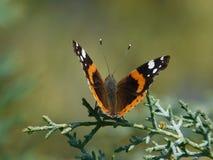 Schmetterling in der Natur lizenzfreie stockbilder