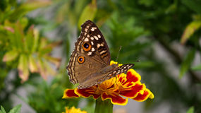 Schmetterling, der Nektar saugt Stockbild