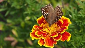 Schmetterling, der Nektar saugt Stockbilder