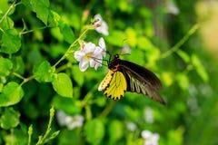 Schmetterling, der Nektar von den Blumen saugt Lizenzfreie Stockfotos