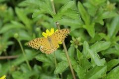 Schmetterling, der Nektar von den gelben Blumen saugt Lizenzfreie Stockfotos
