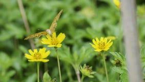 Schmetterling, der Nektar von den gelben Blumen saugt Stockbild