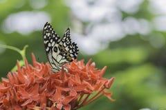 Schmetterling, der Nektar von den roten Blumen saugt Lizenzfreie Stockfotos