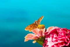 Schmetterling, der Nektar von einer Blume sitzt und saugt Stockfotos