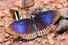 Schmetterling, der Rückstände auf dem Boden isst Lizenzfreie Stockfotos