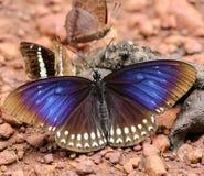 Schmetterling, der Rückstände auf dem Boden isst Lizenzfreie Stockfotografie