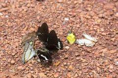 Schmetterling, der Rückstände auf dem Boden isst Lizenzfreies Stockfoto