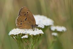 Schmetterling der Ringellocke-(Aphantopus-hyperantus) Stockfotos