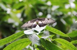 Schmetterling an der Ruhe Lizenzfreies Stockfoto
