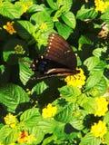 Schmetterling, der stillsteht, um auf Blume einzuziehen Stockbilder