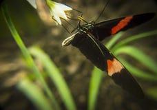 Schmetterling, der von der weißen Blume trinkt Lizenzfreie Stockfotos