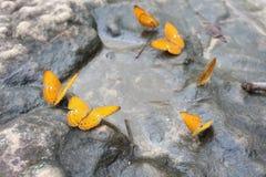 Schmetterling, der Wasser auf dem Felsen isst stockfotos