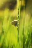Schmetterling in der Wiese Stockbild