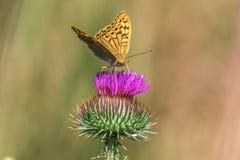 Schmetterling der wild lebenden Tiere sitzt auf dem kyrgyz Cirsium Stockbilder