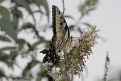 Schmetterling in der wilden Natur Stockfotografie