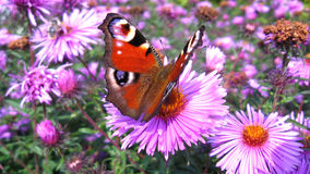 Schmetterling des Pfauauges auf der Aster Lizenzfreies Stockfoto