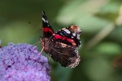 Schmetterling des roten Admirals auf Buddleiablume lizenzfreie stockfotografie