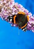 Schmetterling des roten Admirals, der auf eine Buddleiablume einzieht Lizenzfreie Stockfotos