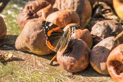Schmetterling des roten Admirals, der auf fauler Birne sitzt Baum auf dem Gebiet stockbilder