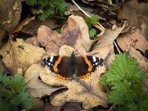 Schmetterling des roten Admirals, der auf toten Blättern sich aalt Lizenzfreie Stockbilder