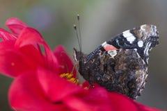 Schmetterling des roten Admirals u. x28; Vanessa-atalanta& x29; Lizenzfreie Stockfotos