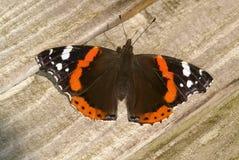 Schmetterling des roten Admirals, Vanessa-atalanta Lizenzfreies Stockbild