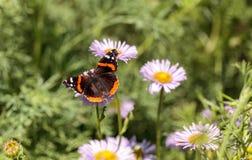 Schmetterling des roten Admirals, Vanessa-atalanta Stockfotografie