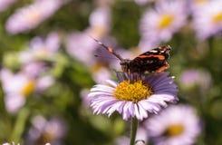 Schmetterling des roten Admirals, Vanessa-atalanta Stockbild