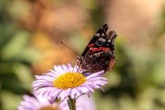 Schmetterling des roten Admirals, Vanessa-atalanta Lizenzfreies Stockfoto