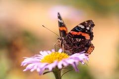 Schmetterling des roten Admirals, Vanessa-atalanta Lizenzfreie Stockfotos