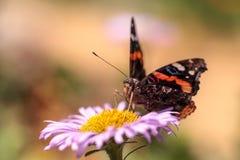 Schmetterling des roten Admirals, Vanessa-atalanta Lizenzfreie Stockbilder
